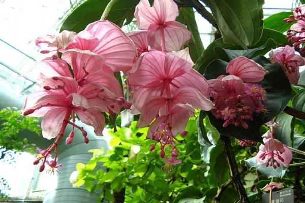 Medinilla magnifica, Foto: ponsuke2.s98.xrea.com