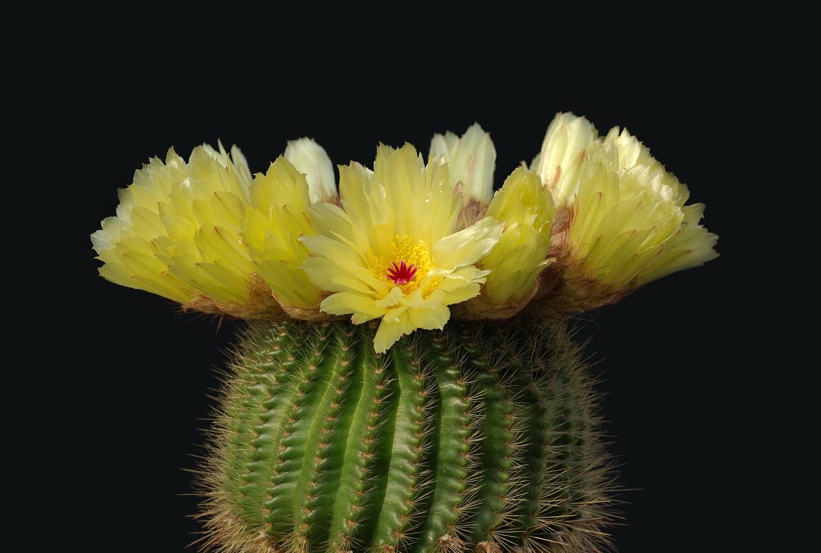 Notocactus, Foto: paraulessentides.blogspot.com