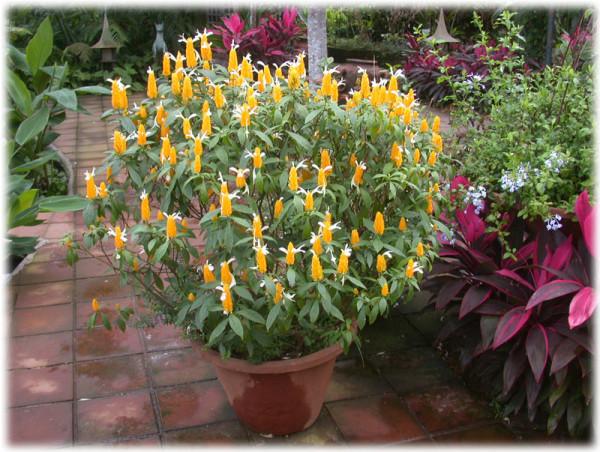 Pachystachys lutea, Foto: quintaldicasa.blogspot.com