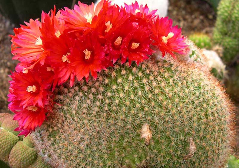 Parodia, Foto: cactus-succulents.com