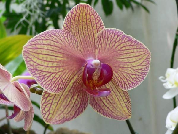 Phalaenopsis, Foto: ortosemplice.it