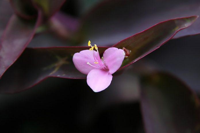 Plante de apartament decorativă - Setcreasea purpurea, căutată datorită frunzelor sale de culoare purpurie