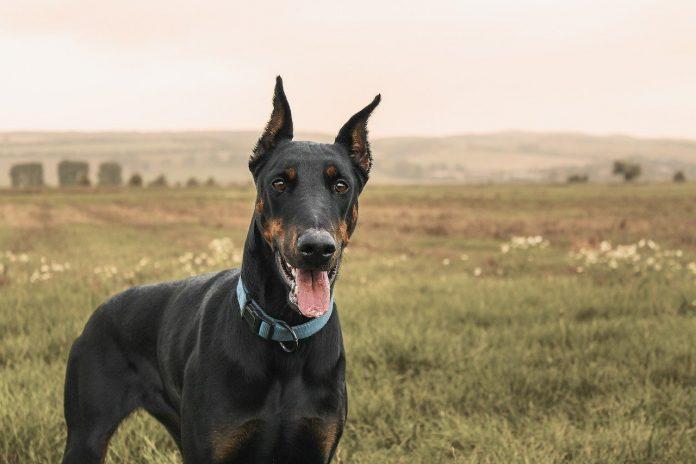 Rasa de câini Doberman Pinscher, liniile elegante ale corpului îi conferă expresivitate și putere