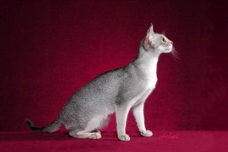 Rase-de-pisici-–-Abissiniana-1.jpg