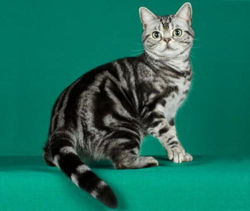 Rase-de-pisici-–-Abissiniana-2.jpg