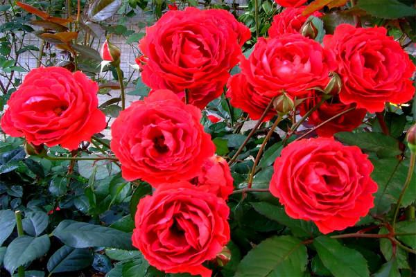 Rosa chinensis, Foto: giantsakiplants.gr