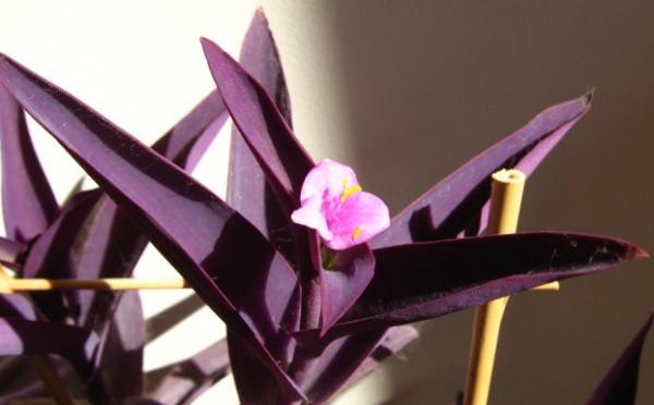 Setcreasea purpurea, Foto: etsy.com