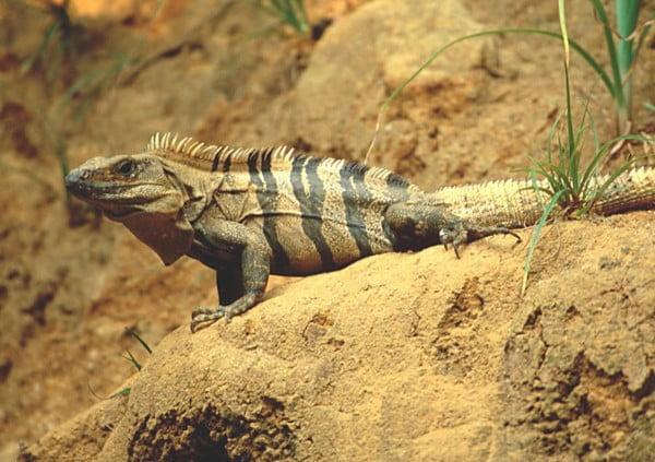 Iguana neagra Foto: free-pet-wallpapers.com