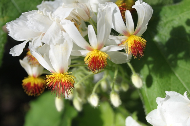 Sparmannia africana, Foto: plantheritage.wordpress.com