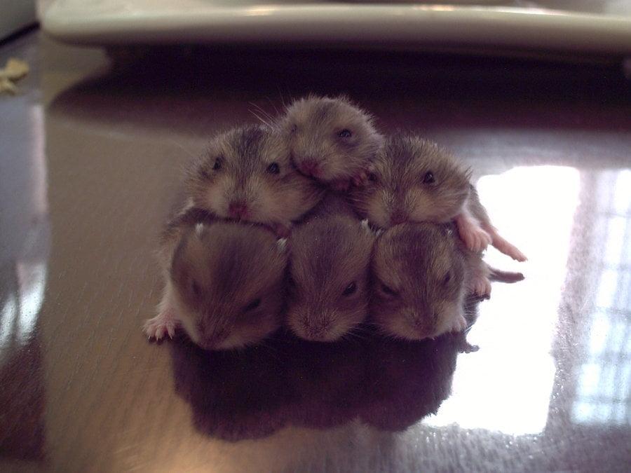 Baby Hamsters Foto: danamic.deviantart.com