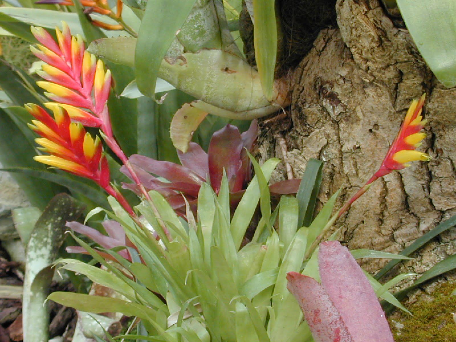Vriesea splendens Foto: www.tropicflore.com