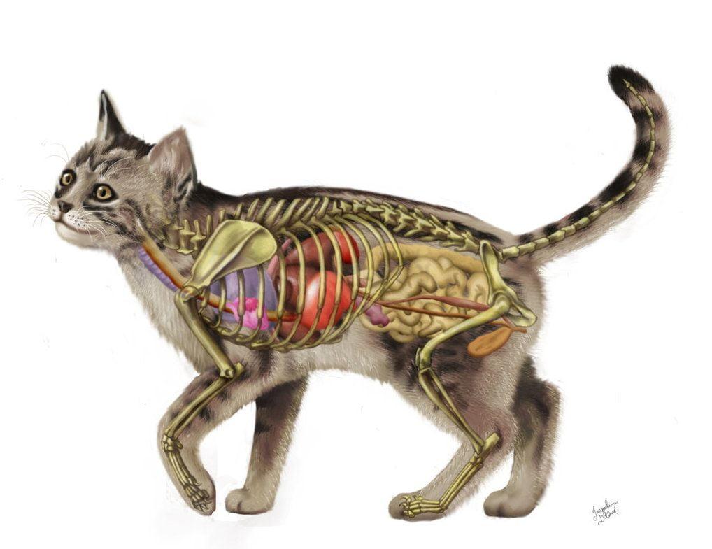 Anatomia pisicii Foto: www.resimbul.com