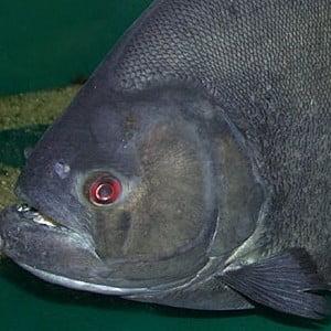 piranha negru