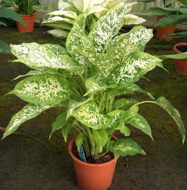 Dieffenbachia maculata, Foto: bolshoyvopros.ru