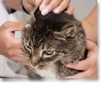Boli la pisici – Polipii de urechi