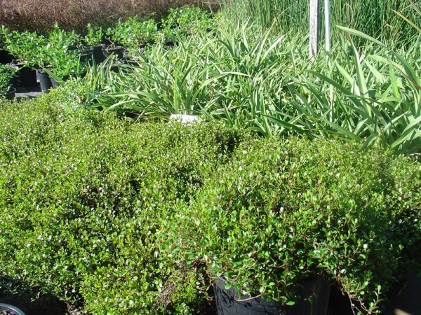 Muehlenbeckia axillaris, Foto: kauriparknurseries.co.nz