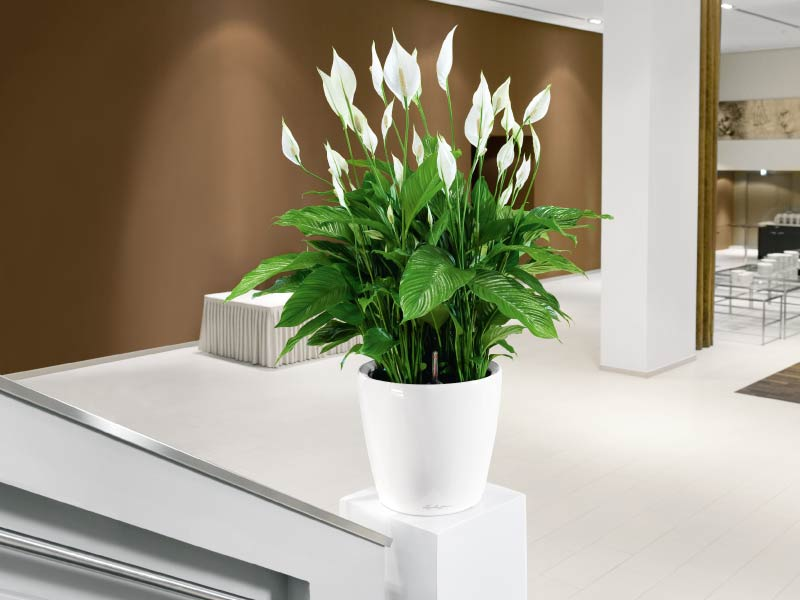 Spathiphyllum, Foto: universalfloral.com