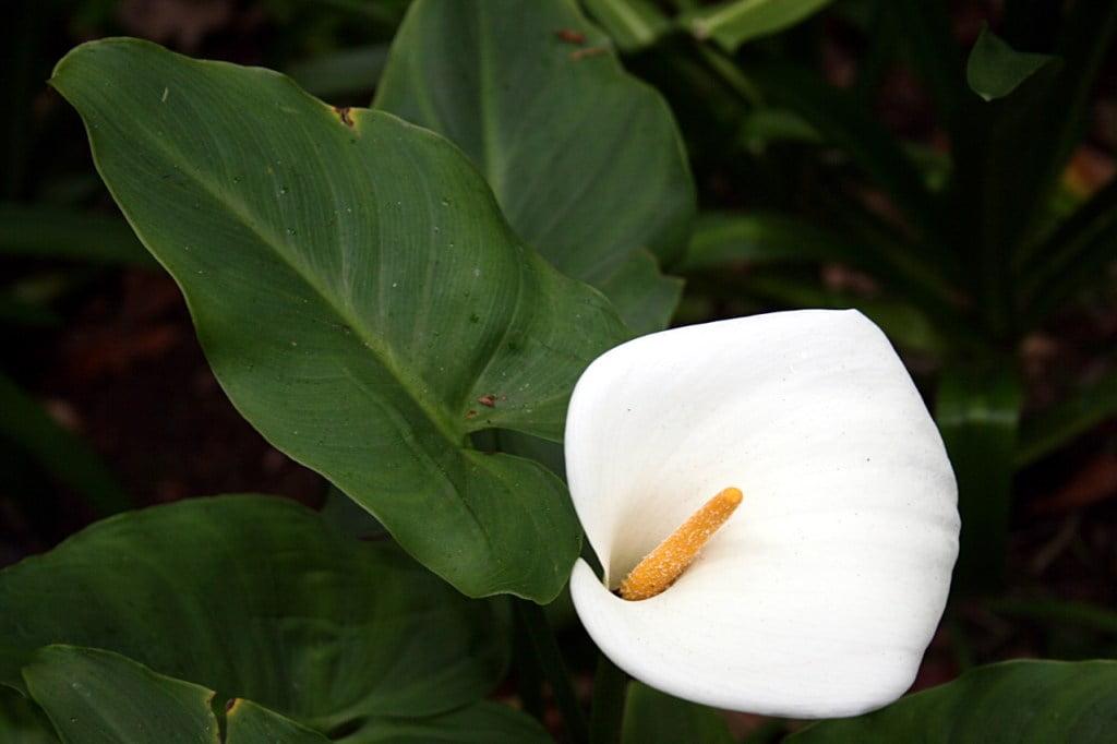 Zantedeschia aethiopica, Foto: kaliteliresimler.com