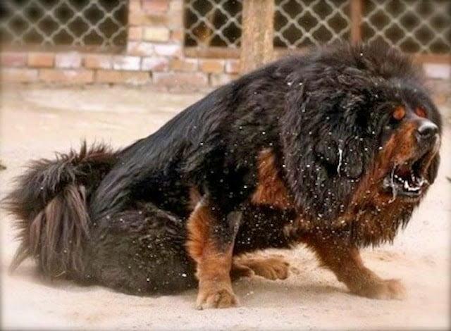 Dog de Tibet Foto: galeri.uludagsozluk.com
