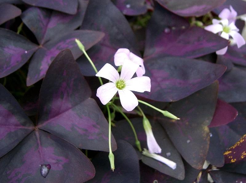 Oxalis triangularis, Foto: worldlandtrust.org