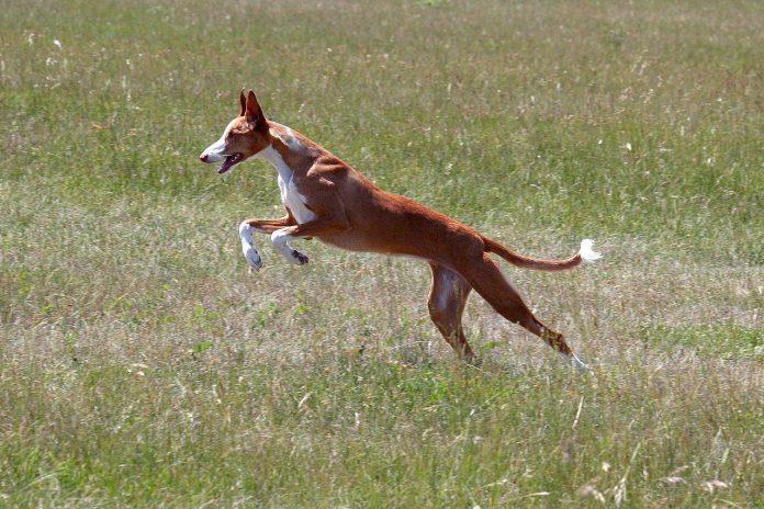 Podenco Ibicenco, o rasă de câini inteligenți, originară din Ibiza