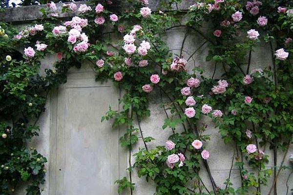 Trandafirii cataratori, Foto: caycanhdongphat.com