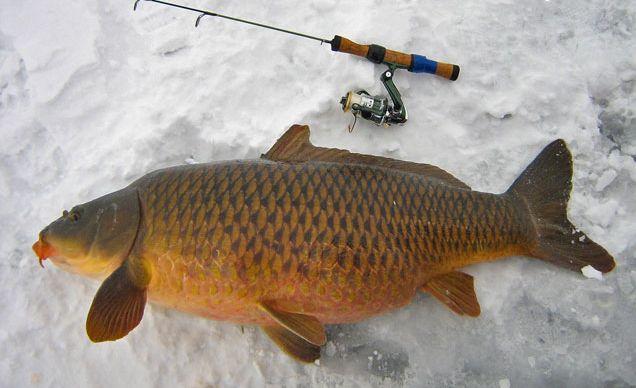 Prinderea crapului Foto: www.ghidul-pescarului.ro