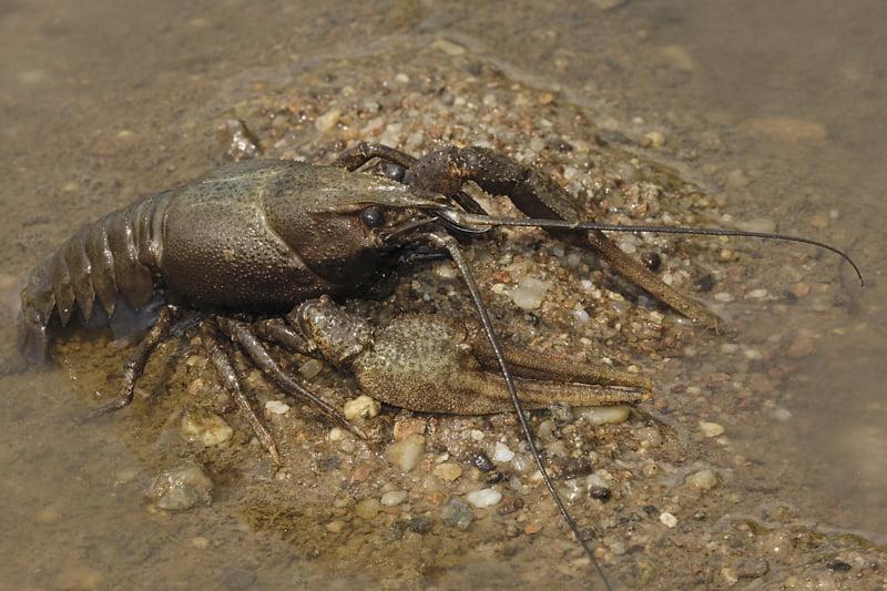 Rac Foto: www.crayfish.ro