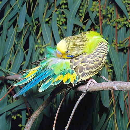 Perusul ondulat (Melopsittacus undulatus), Foto: noktys.wordpress.com