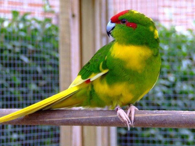 Papagalul Kakariki Foto: www.bgdcafe.netwww.bgdcafe.net