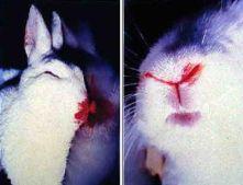 Boala hemoragica