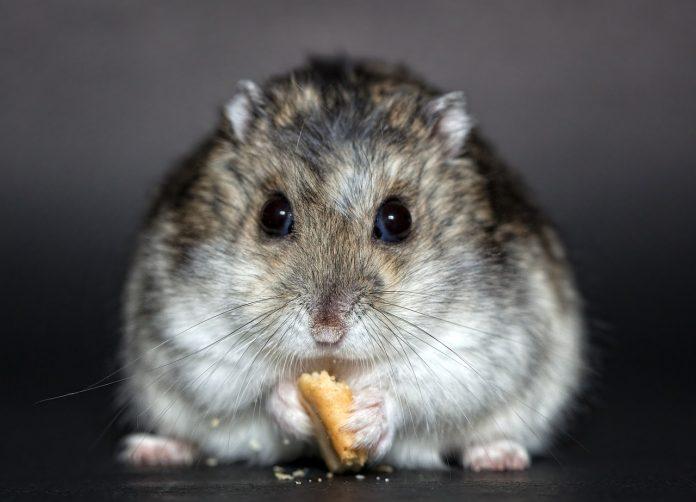 Câteva metode simple prin care se poate diferenția sexul hamsterului