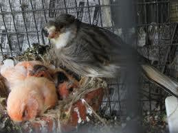 Inmultirea la canari - Pui