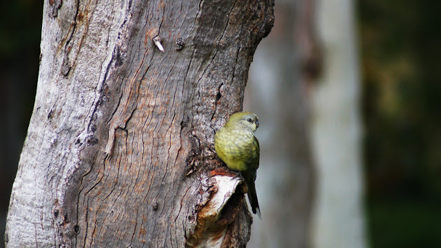 Papagalul cantator in mediul sau natural, Foto: melbournedaily.blogspot.ro