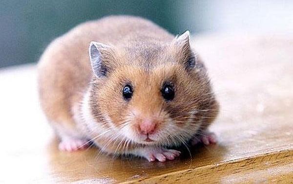 Hamster Foto: acus.centerblog.net