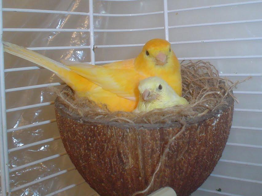 Canari, Foto: aboutpetbirds.com