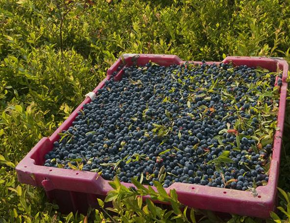 Cum se cultiva coacazele, Foto: wildblueberries.com