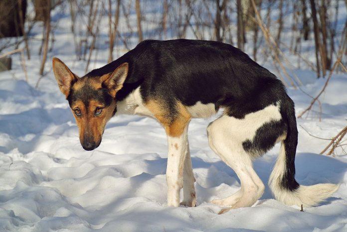 Duchenne, o boală gravă la câini ce răspunde la tratamentul cu celule stern