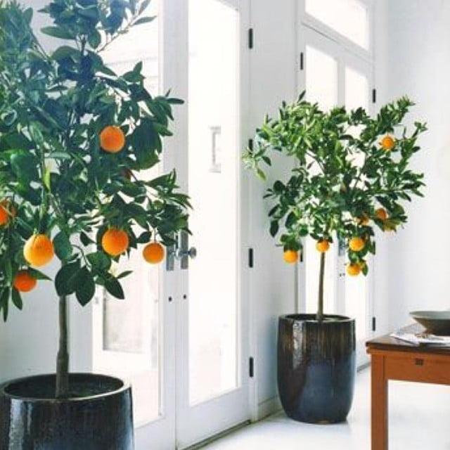 Citrice in apartament, Foto: livwithvision.com