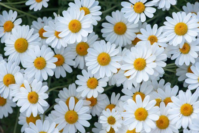 Margareta - o plantă din grădina ta cu proprietăți antiinflamatorii