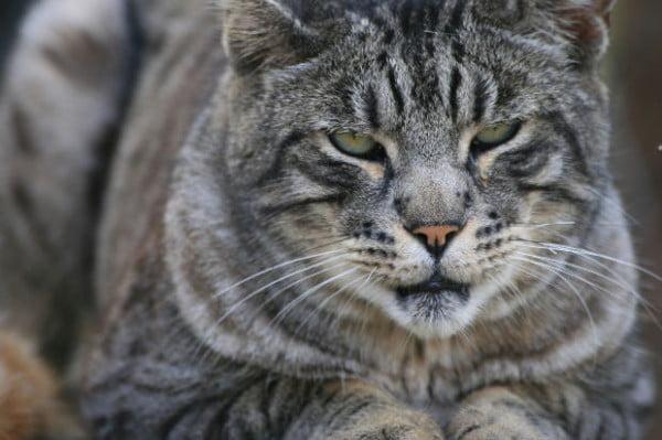 Pisica, un mamifer carnivor