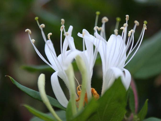 Caprifoiul, Foto: garden-flowers.org