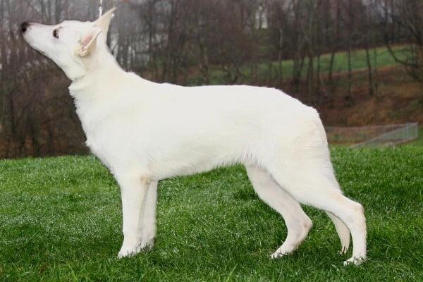 Ciobanesc alb elvetian, Foto: free-pet-wallpapers.com