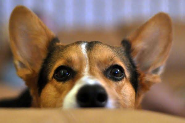 Ingrijirea urechilor la caini Foto: allstarvet.com