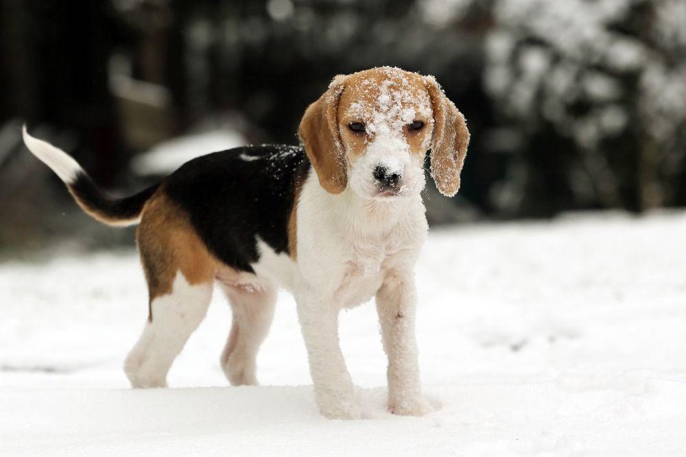 Caine iarna Foto: beaglehund.de