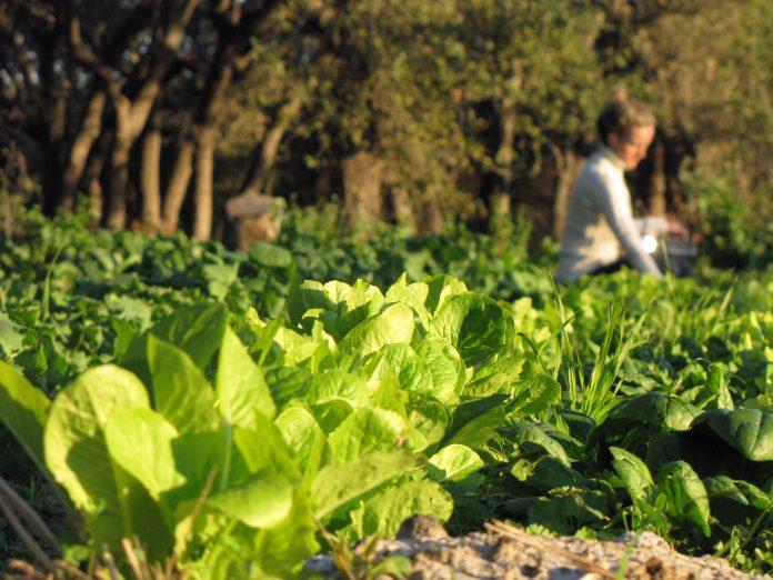 Ce legume puteti cultiva in luna ianuarie, Foto: fourstringfarm.com