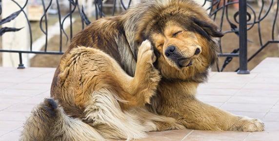 Caine cu pureci Foto: animalnaturapathy.org