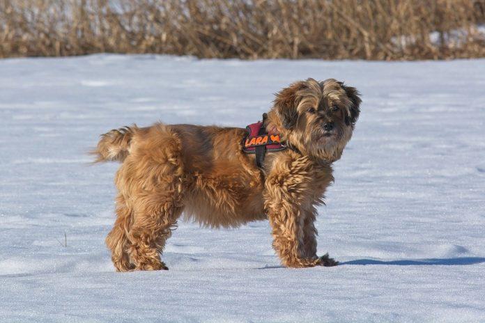 Rase de câini de talie mijlocie - Terrier Tibetan, un animal de companie pentru persoanele active