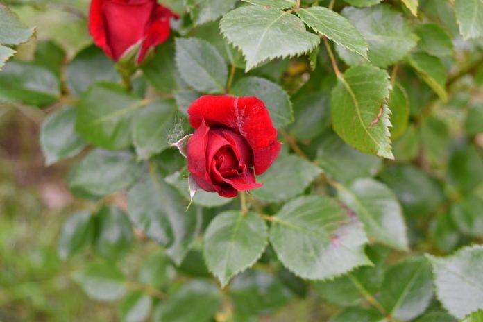 Top 10 cele mai populare flori din grădină, de asemenea ușor de întreținut
