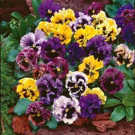 top 10 cele mai populare flori din gradina Panseluta